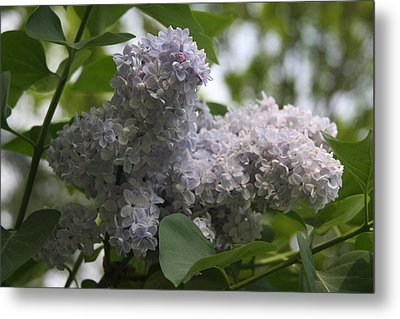 Metal Print featuring the photograph Lilac by Vadim Levin