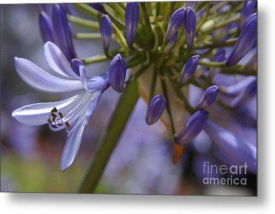 Lily Of The Nile In Pacific Beach Metal Print
