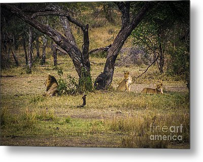 Lion In The Dog House Metal Print by Darcy Michaelchuk