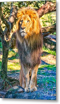 Lion Standing On Rocks Metal Print by Stephanie Hayes