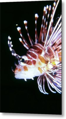Lionfish 3 Metal Print by Dawn Eshelman