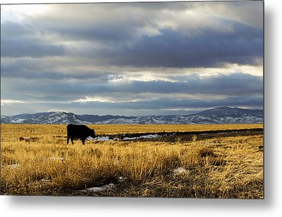 Lone Cow Against A Stormy Montana Sky. Metal Print by Dana Moyer
