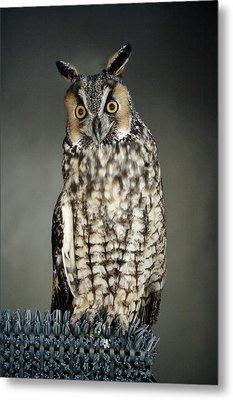 Long-eared Owl Metal Print by Paulette Thomas