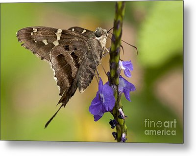 Metal Print featuring the photograph Long-tailed Skipper Photo by Meg Rousher