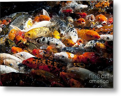 Lots Of Hungry Koi  Metal Print by Wilma  Birdwell