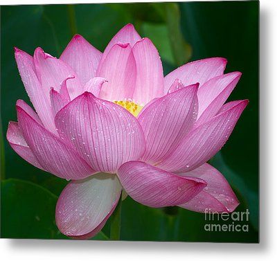 Metal Print featuring the photograph Lotus Drops by Dale Nelson