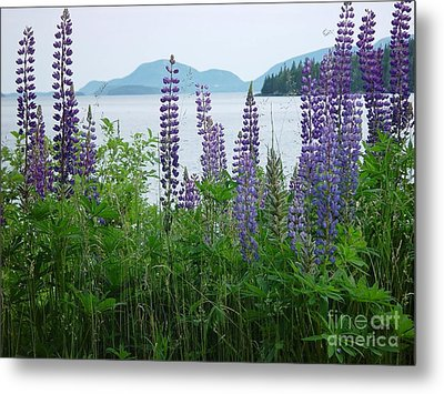 Lupine At Sorrento Metal Print by Christopher Mace