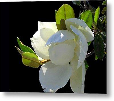 Magnolia Blossom Metal Print by Ginny Schmidt