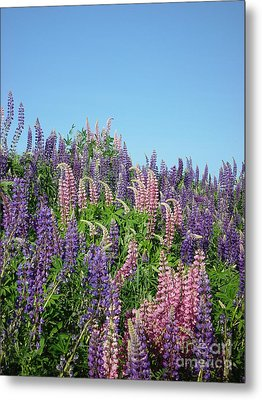 Maine Lupine Metal Print by Christopher Mace