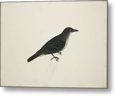 Malay Glossy Starling Metal Print by British Library
