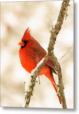 Male Cardinal Metal Print by Thomas Pettengill