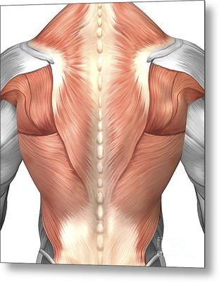 Male Muscle Anatomy Of The Human Back Metal Print by Stocktrek Images