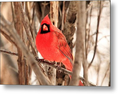 Male Northern Cardinal Metal Print by Michael Allen