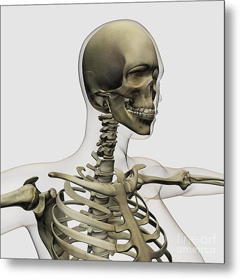 Medical Illustration Of A Womans Skull Metal Print by Stocktrek Images