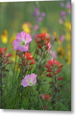 Mexican Primrose And Paintbrushes Metal Print