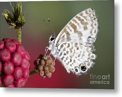 Miami Blue Butterfly I Metal Print by Pamela Gail Torres
