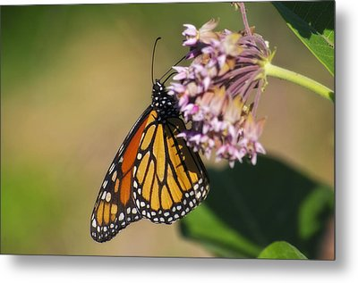 Monarch On Milkweed Metal Print by Shelly Gunderson