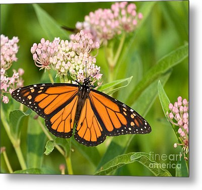 Metal Print featuring the photograph Monarch On Pink by Dale Nelson