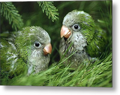 Monk Parakeet Chicks Metal Print by Paul J. Fusco