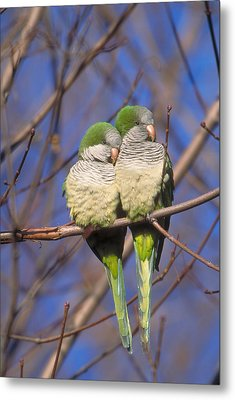 Monk Parakeets Metal Print by Paul J. Fusco