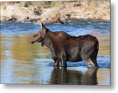 Moose On The  Gros Ventre River Metal Print by Gary Langley