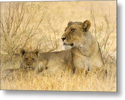 Mother And Cub Metal Print by Alison Buttigieg