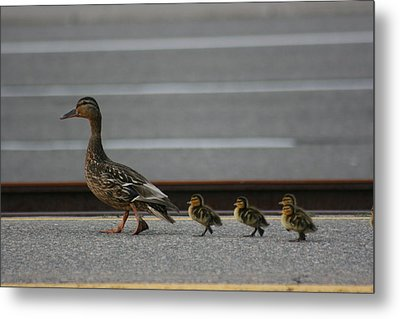 Mother Duck And Babies Metal Print