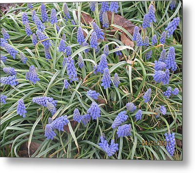 Metal Print featuring the photograph Muscari Flowers 2 by Margaret Newcomb