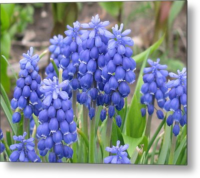Metal Print featuring the photograph Muscari Up Close by Margaret Newcomb
