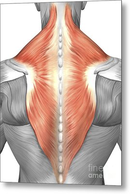 Muscles Of The Back And Neck Metal Print by Stocktrek Images