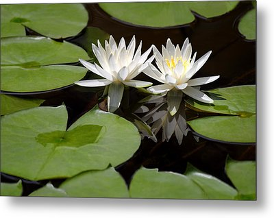 Nature's Snow White Water Lilies Metal Print by Linda Phelps