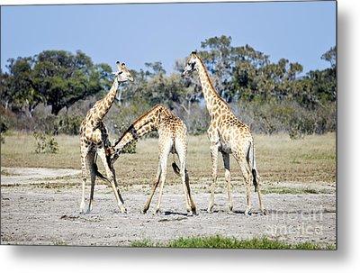 Metal Print featuring the photograph Necking Giraffes Botswana by Liz Leyden