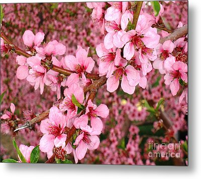Nectarine Blossoms Metal Print by Polly Anna