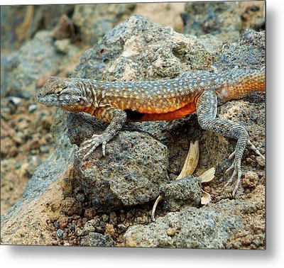 Metal Print featuring the photograph Nevada Side-blotched Lizard by Heidi Manly