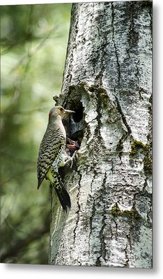 Northern Flicker Nest Metal Print by Christina Rollo