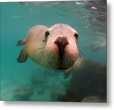 Nosey Sea Lion Metal Print by Crystal Beckmann