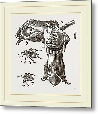 Nut And Apple-tree Weevils Metal Print