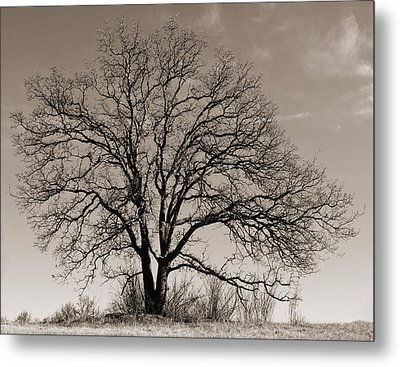 Oak In Sepia Metal Print by Lula Adams