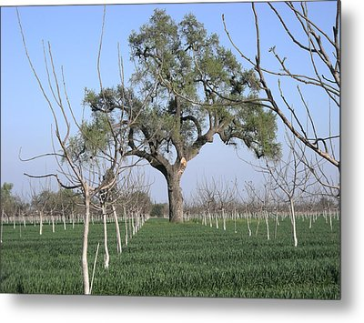 Oak Tree Guards Fruit Metal Print