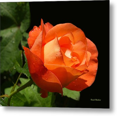 Metal Print featuring the photograph Orange Rose by Haleh Mahbod