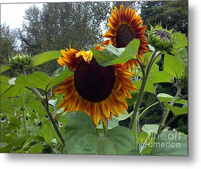 Orange Sunflowers Metal Print