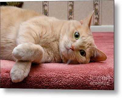 Orange Tabby Cat Lying Down Metal Print by Amy Cicconi