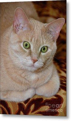 Orange Tabby Cat Poses Royally Metal Print