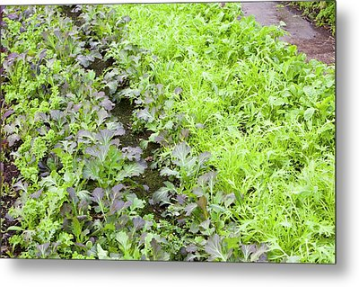 Organic Salad Crops Metal Print by Ashley Cooper
