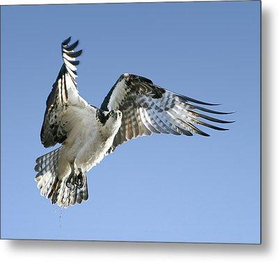 Osprey Carrying Twig Metal Print