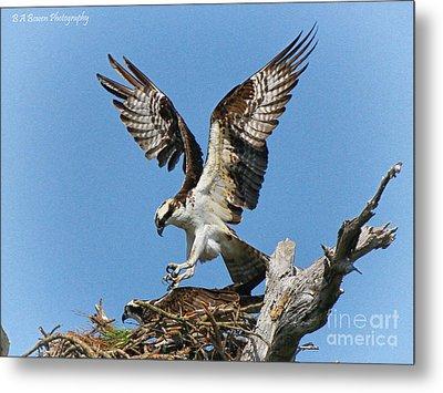 Osprey Mating Metal Print by Barbara Bowen