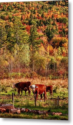 Cow Complaining About Much Metal Print by Jeff Folger