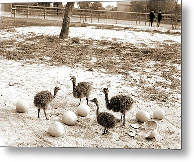 Ostrich Farm, Hot Springs, Ark, Ostriches Metal Print by Litz Collection
