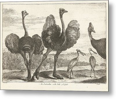 Ostriches, Cassowary And Spoonbill, Grard Scotin Metal Print by G?rard Scotin (i)