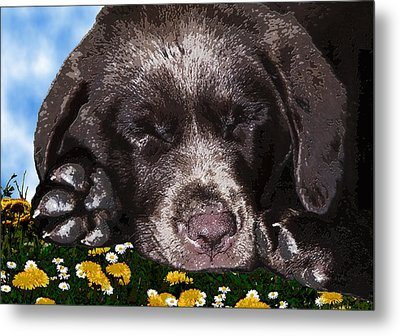 Outside Portrait Of A Chocolate Lab Puppy  Metal Print by Chris Goulette